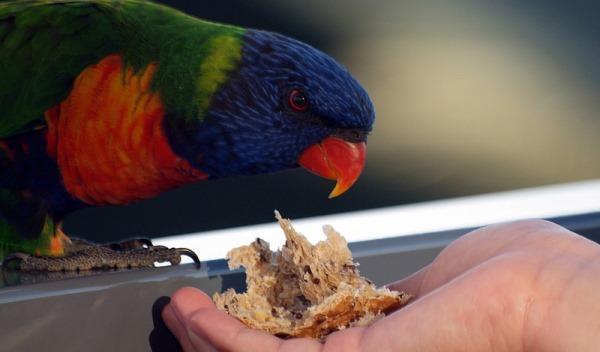 Разведение попугаев: организация процесса и полученеи прибыли
